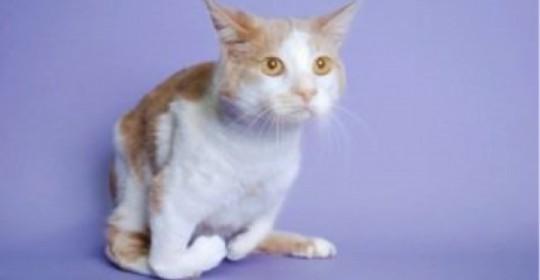 Agenezia radială la pisici