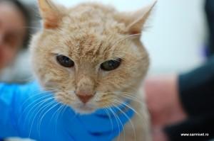 tumora pisica