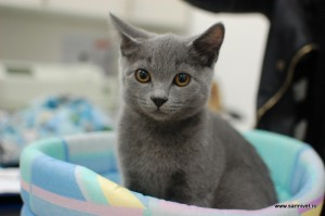 vaccin pisica
